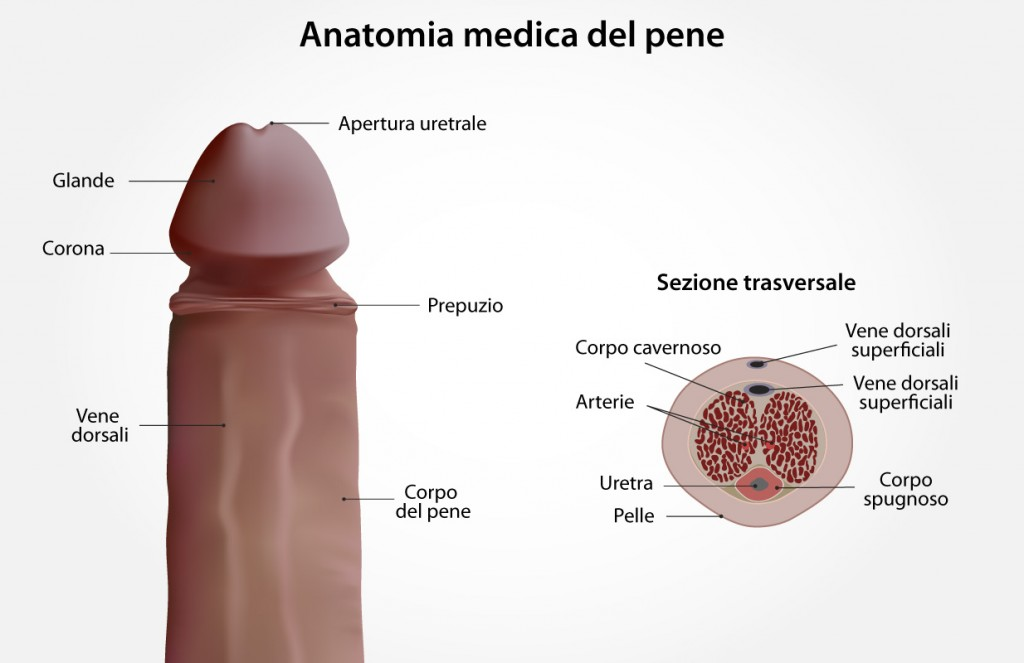 Tavola anatomica del pene maschile
